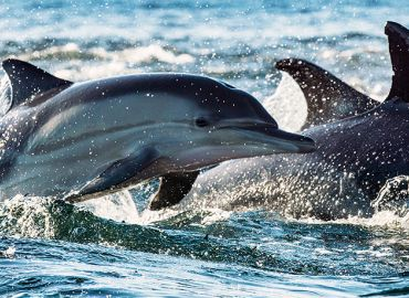 Shannon Dolphin Project