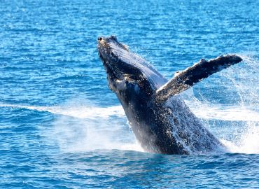 Humpback Population Bounces Back