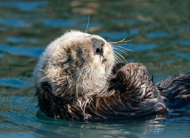 Sea Otters - Did you know?